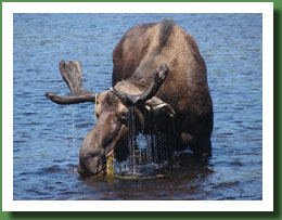 Moose Eating jpg
